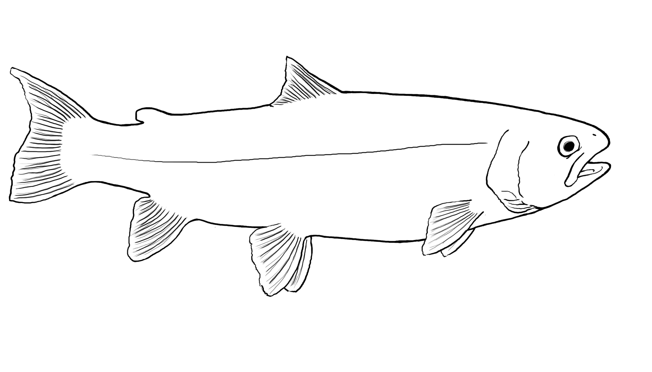 Salmon Outline Drawing Images Rainbow Trout Coloring Page