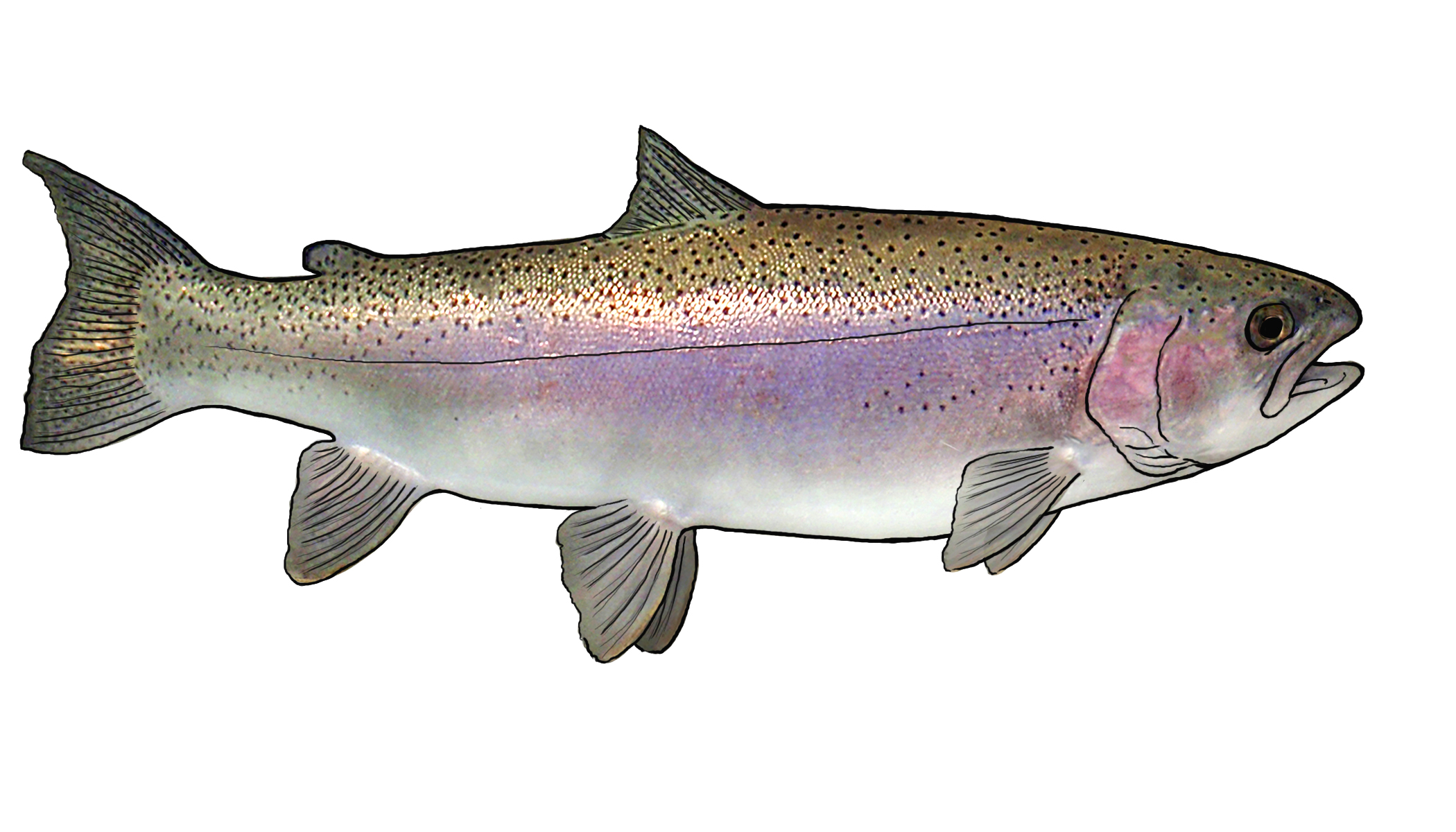 Color pictures of rainbow trout coloring page for How to fish for rainbow trout