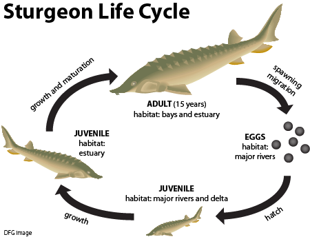 Life cycle chart of sturgeon in California.