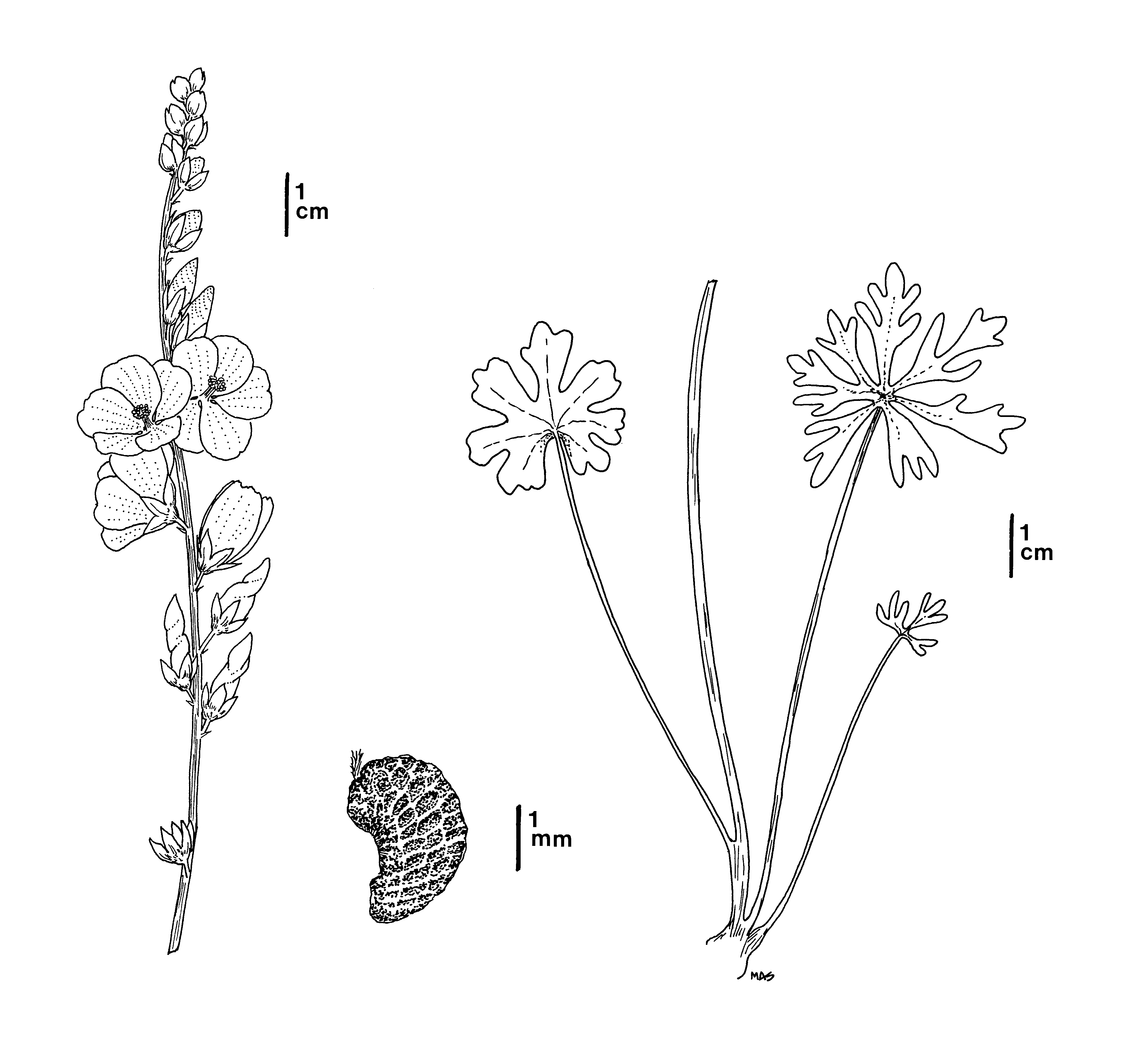 black and white line drawing of Owens Valley checkerbloom